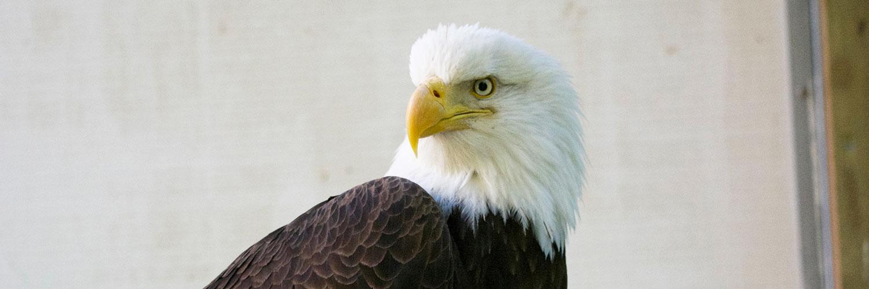 WSWS Bald Eagle