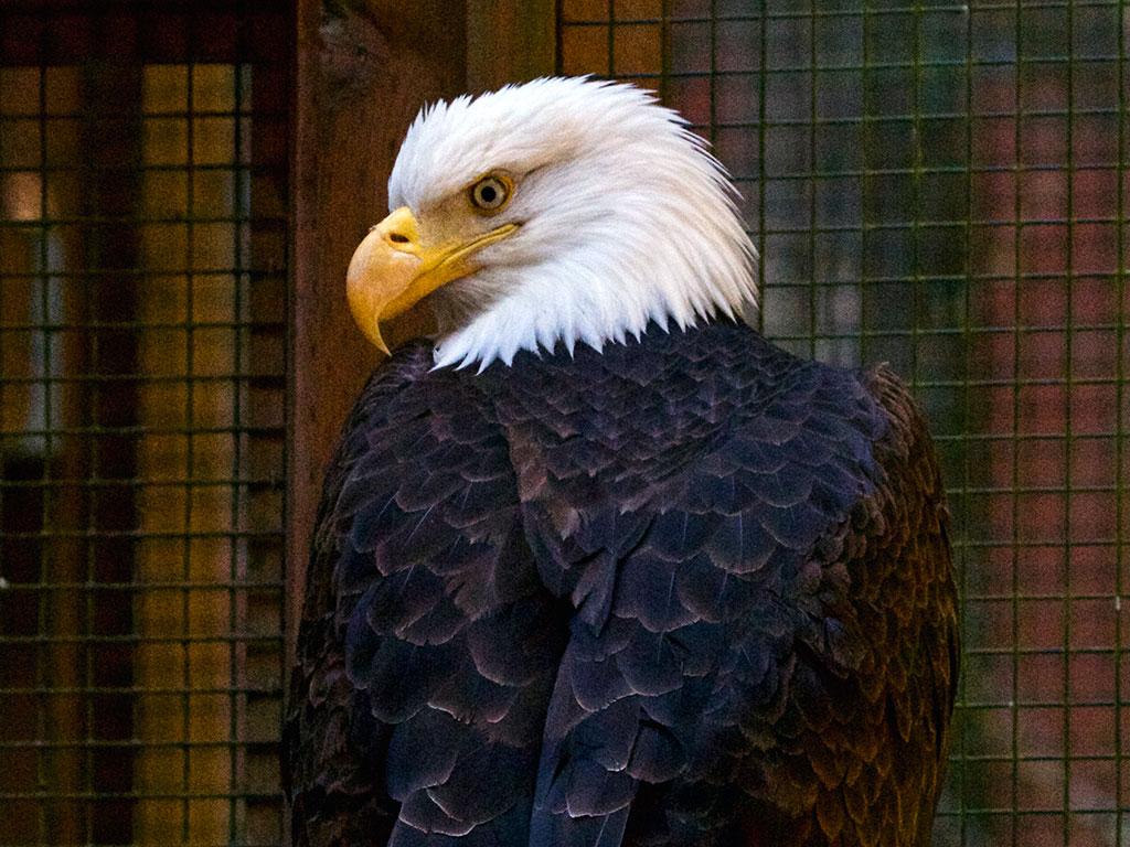 WSWS-Bald Eagle
