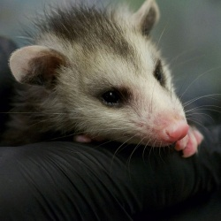WSWS-Opossom