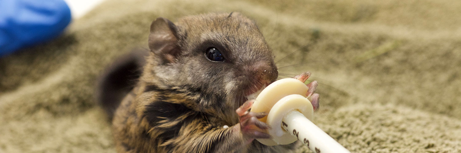 WSWS Baby Squirrel
