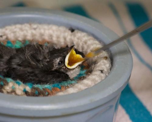 WSWS Baby Bird