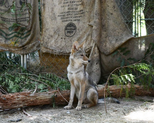 WSWS Wolf