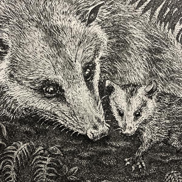WSWS Kathryn Anderson Virginia Opossum2